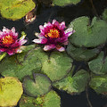 Water Lily Neo by David Lange