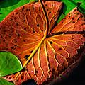 Water Lily Pad by Louis Dallara