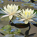 Water Lily Pair by Richard Bryce and Family