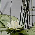 Water Lily Pictures 48 by World Wildlife Photography
