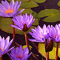 Water Lily Pond by Amy Vangsgard