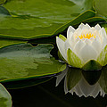 Water Lily Reflection II by Jordan Blackstone
