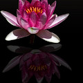 Water Lily Reflection by Shelly Gunderson
