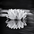 Water Lily Reflection by Tim Gainey