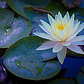Water Lily by Richard Cheski