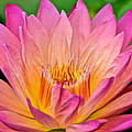 Water Lily by Frozen in Time Fine Art Photography