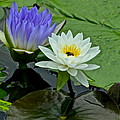 Water Lily Serenity by Frozen in Time Fine Art Photography