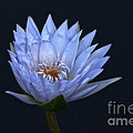Water Lily Shades Of Blue And Lavender by Byron Varvarigos