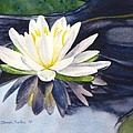 Water Lily by Sharon Farber