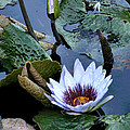 Water Lily by Sharon McLain