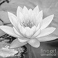 Water Lily Square by Sabrina L Ryan
