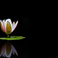 Water Lily by Stephanie McDowell