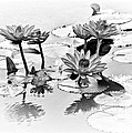 Water Lily Study - Bw by Nikolyn McDonald
