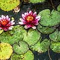 Water Lily Water Color by David Lange
