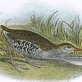 Water Rail by English School