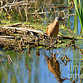 Water Rail Reflection by Jim Garrison