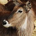 Waterbuck Profile by Julie Keller