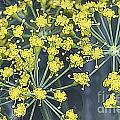 Watercolor Dill by Fred Ziegler