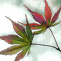 Watercolor Japanese Maple Leaves by Elaine Plesser