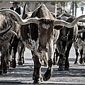 Watercolor Longhorns by Joan Carroll