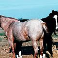 Watercolor Mustangs by Shere Crossman