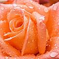 Watered Rose by Paul DeRocker