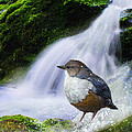 Waterfall And Ouzel European Dipper by R christopher Vest