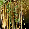 Waterfall Of Jungle Tree Roots by John Malone