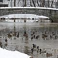 Watering Hole Ducks Only by John Telfer