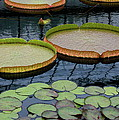 Waterlilies And Platters 2 by Byron Varvarigos