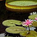 Waterlilies And Platters Vertical Romance by Byron Varvarigos