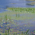 Waterlilies by Karen Kluglein