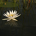 Waterlilly 5 by Karen Zuk Rosenblatt