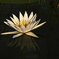 Waterlilly 6 by Karen Zuk Rosenblatt