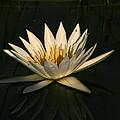Waterlilly 7 by Karen Zuk Rosenblatt