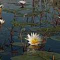 Waterlilly 8 by Karen Zuk Rosenblatt