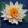 Waterlily After A Shower by Raymond Salani III