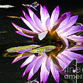 Waterlily And Dragonfly by Zina Stromberg