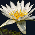 Waterlily And Pad by Susan Candelario