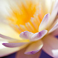 Waterlily Dreams 11 by Priya Ghose