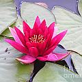 Waterlily In A Pond by Kerstin Ivarsson