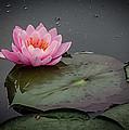 Waterlily by Pat Lucas