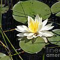 Waterlily by Susan Russo