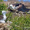 Waved Albatross  And Young by Mike Fisher