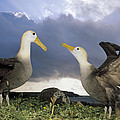 Waved Albatross Courtship Dance by Tui De Roy