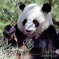 Waving The Bamboo Flag by Liz Leyden