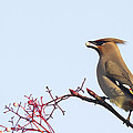 Waxwing  by Chris Smith