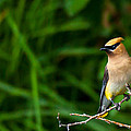 Waxwing by Kevin  Dietrich
