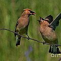 Waxwing Love.. by Nina Stavlund
