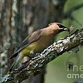 Waxwing Lunchtime by Cheryl Baxter
